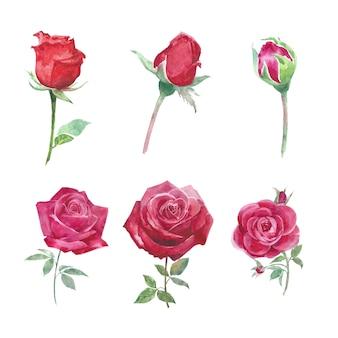 Florezca el elemento de la flor rosa roja acuarela en blanco para uso decorativo.