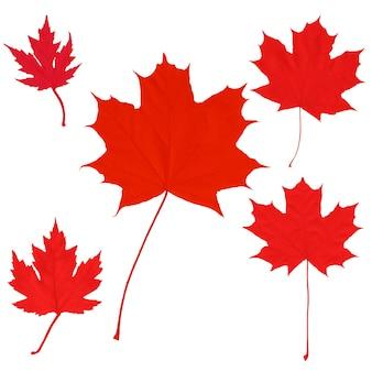 Fondo de hojas de arce del día de canadá