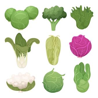 Fotos de repollo. ingredientes vegetarianos de la granja dietas ecológicas ilustraciones de alimentos verdes