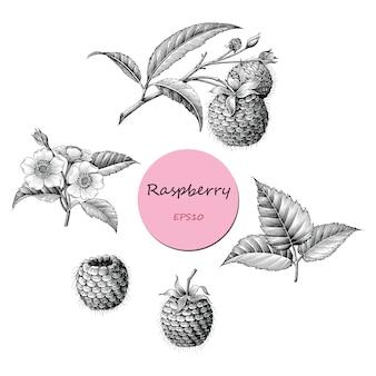 Frambuesa fruta botánica colección mano dibujar estilo vintage blanco y negro, aislado.