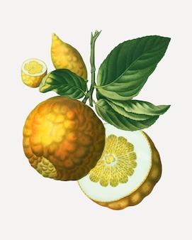 Fruta de manzana de adán