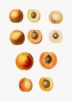 Frutas de albaricoque