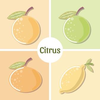Frutas cítricas, naranja, limón, lima, mandarina, conjunto, ilustración