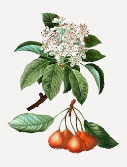 Frutas de shipova