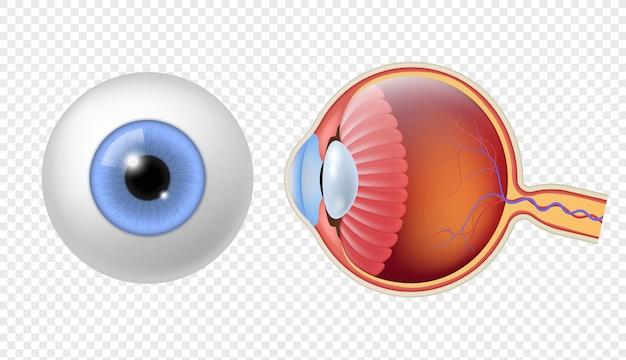 Globo ocular humano realista. la estructura de la retina del ojo, el iris redondo y la textura de la pupila, el objeto colorido de la anatomía de cerca y el conjunto aislado del vector de los globos oculares de la vista lateral