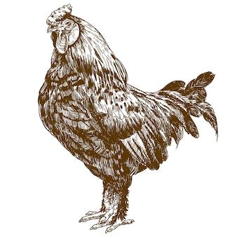 Grabado antiguo dibujo de gallo
