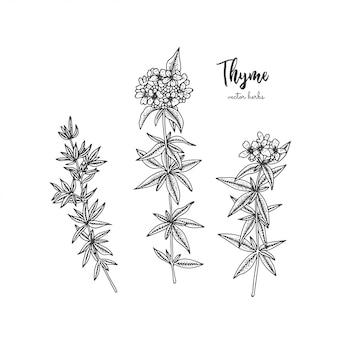 Grabado botánico ilustración de tomillo.