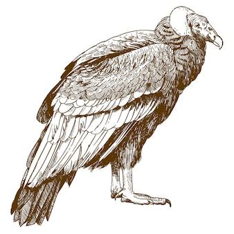Grabado dibujo ilustración de cóndor