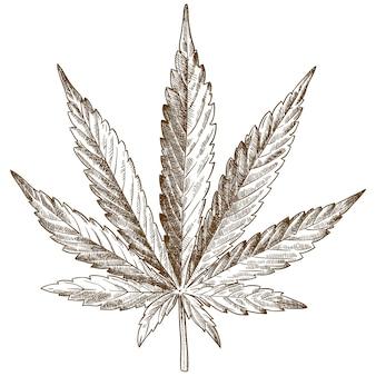 Grabado dibujo ilustración de hoja de cannabis