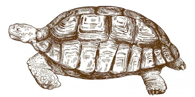 Grabado dibujo ilustración de tortuga grande