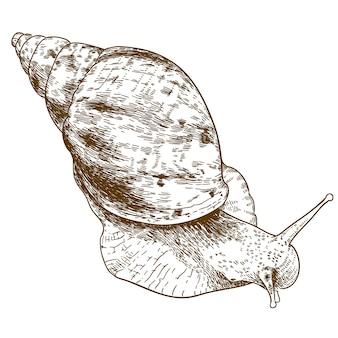 Grabado de la ilustración de achatina