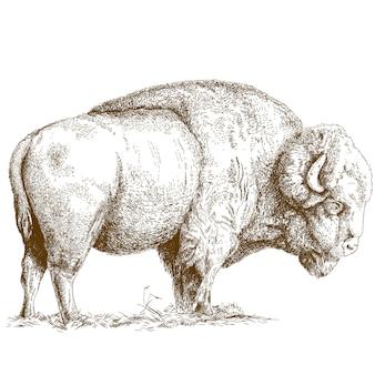 Grabado de la ilustración de bisonte