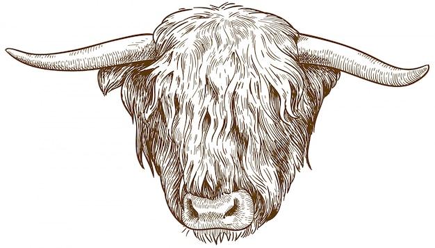 Grabado de la ilustración de la cabeza de ganado de las tierras altas