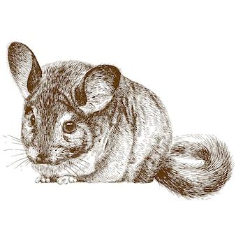 Grabado de la ilustración de chinchilla