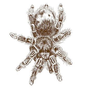 Grabado de la ilustración de tarántula