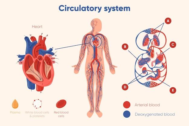 Gráfico del sistema circulatorio dibujado a mano