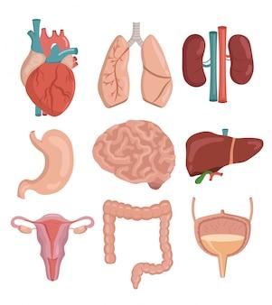 Gran conjunto de ilustración de vector de dibujos animados de órganos humanos