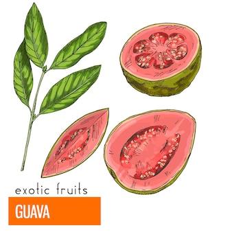 Guayaba. ilustración de vector de color