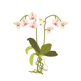 Hermosa orquídea moteada blanca y rosa con hojas y raíces aisladas sobre fondo blanco. flor colorida tropical o doméstica, flora viva, elemento floreciente de la orquídea. ilustración vectorial de dibujos animados