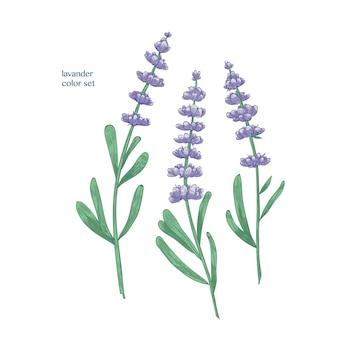 Hermosas flores de lavanda púrpura y hojas verdes