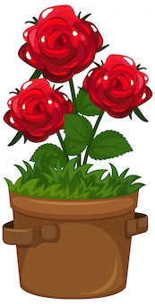 Hermosas rosas en cazuela de barro sobre fondo blanco