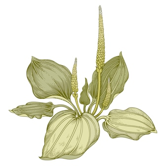 Hierba medicinal plátano.