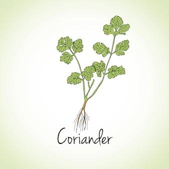 Hierbas y especias de cilantro.