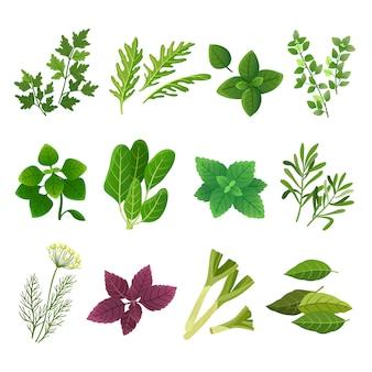 Hierbas y especias. orégano albahaca verde menta espinacas cilantro perejil eneldo y tomillo. comida aromática hierba y especias vector conjunto aislado