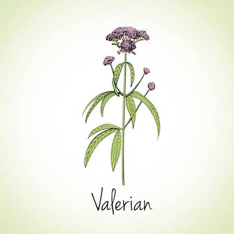 Hierbas y especias de valeriana.