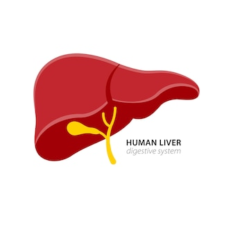 Hígado humano en la ilustración del sistema digestivo