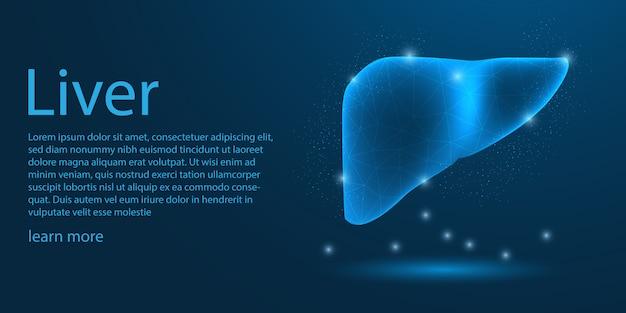 Hígado humano médico, concepto de baja poli.