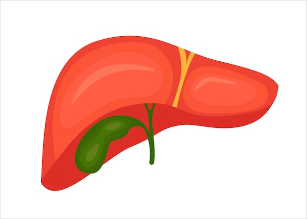 Hígado con vesícula biliar. ilustración vectorial en estilo de dibujos animados.