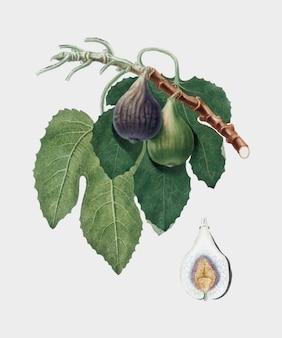 Higo de la ilustración de pomona italiana