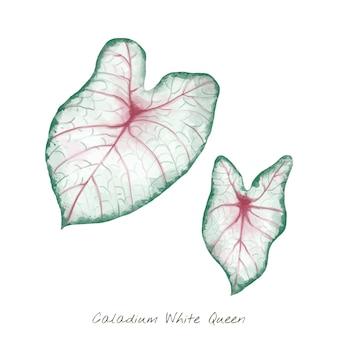Hoja blanca de caladium aislada en el fondo blanco