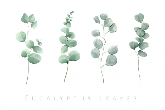 Hojas de eucalipto aislado acuarela en conjunto de 4 ramas.