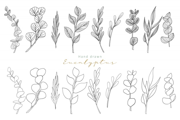 Hojas de eucalipto dibujadas a mano