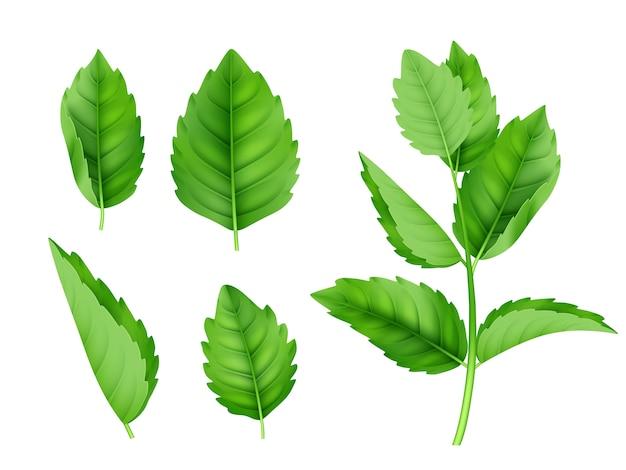 Hojas de menta. plantilla realista de mentol hierbabuena olor fresco naturaleza producto vector