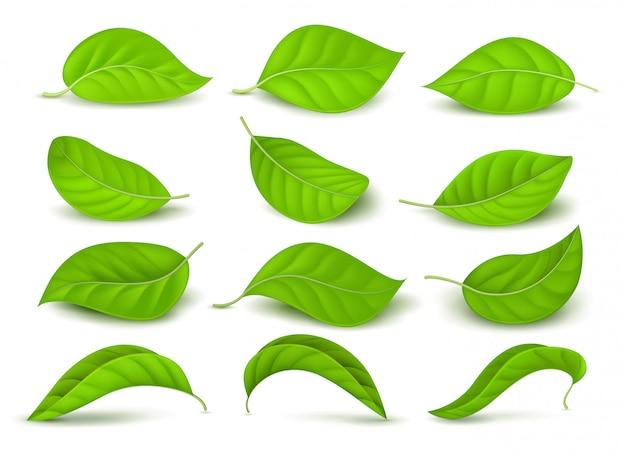 Hojas de té verde realista con gotas de agua aisladas en conjunto de vector blanco