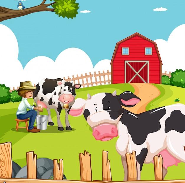 Hombre y vacas en granja
