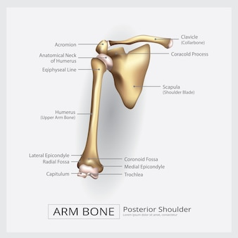 Hombro, brazo, hueso, vector, ilustración