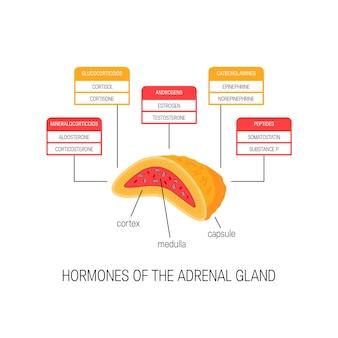 Hormonas de la glándula suprarrenal. diagrama de estilo plano.