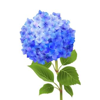 Hortensia azul aislado