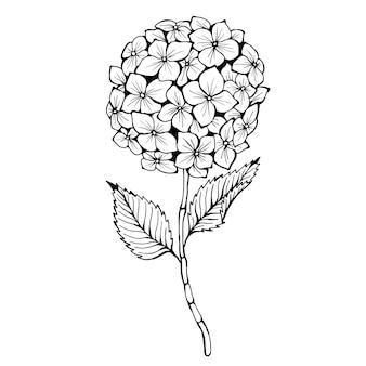 Hortensia. ilustración dibujada a mano. dibujo de tinta blanco y negro monocromo.