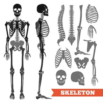Huesos humanos y conjunto de esqueleto