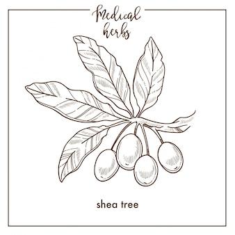 Icono de vector botánico de shea tree seeds medical herb sketch para el diseño de fitoterapia con hierbas medicinales