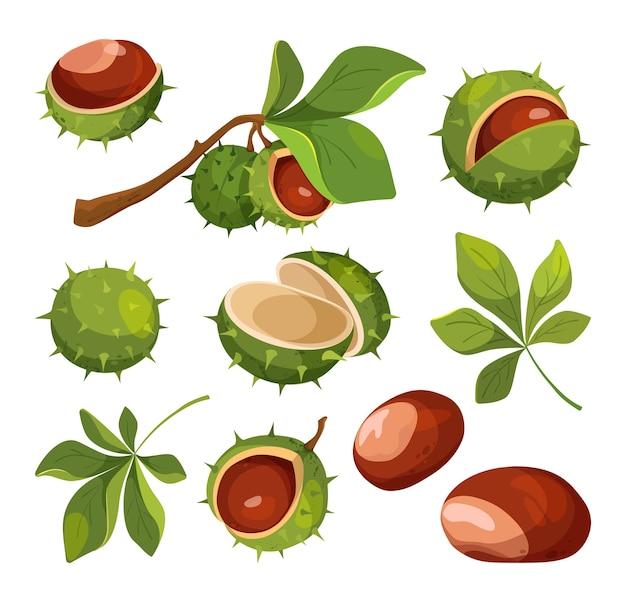 Iconos aislados del vector de la castaña. conjunto de castañas de dibujos animados, hojas y cáscaras, ilustración vectorial.