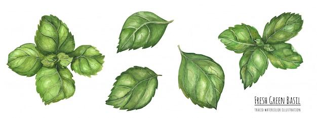 Ilustración acuarela trazada hojas de albahaca verde fresco