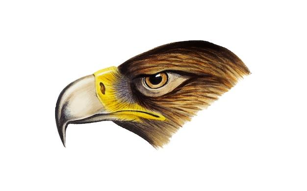 Ilustración de águila de cola de cuña