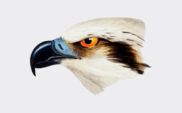 Ilustración de águila pescadora blanca