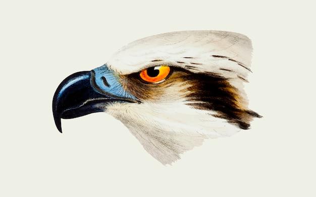 Ilustración de águila pescadora de cabeza blanca